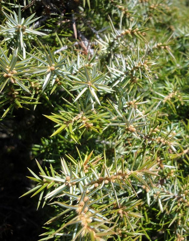 Genévrier commun, Juniperus communis L.