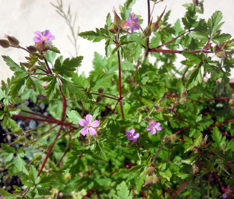 Géranium, Herbe à Robert, Geranium robertianum.