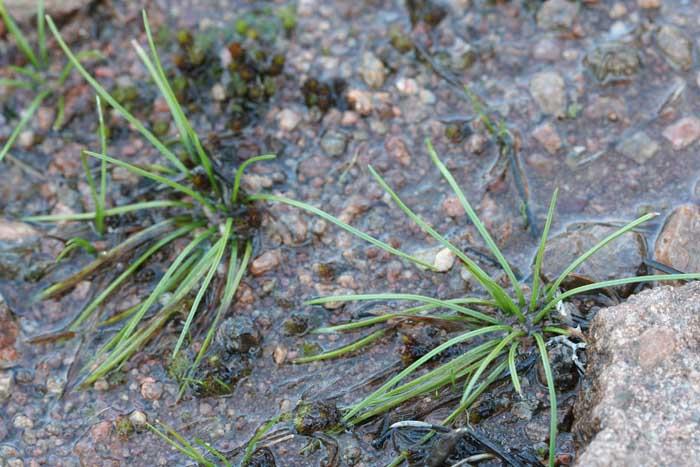Deux plants accolés d'Isoètes de Durieu, Isoetes duriei Bory.