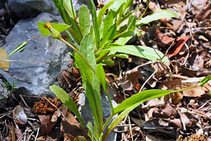 Hédypnoïs de Crête, Hedypnois cretica (L.). Dum
