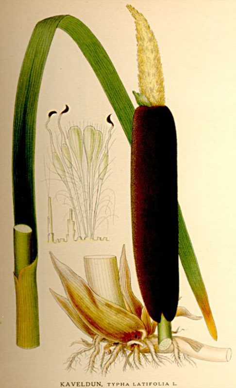 Massette, Typha latifolia