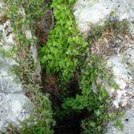 Tamier, Dioscorea communis