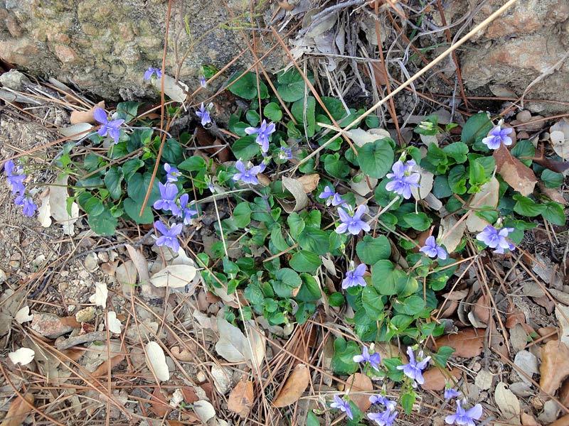 Violette des bois, ViolareichenbachianaBoreau