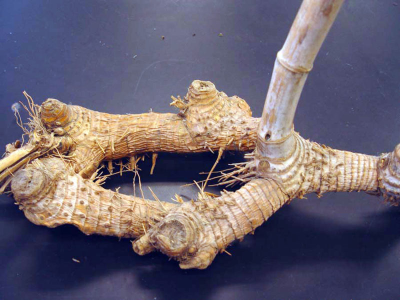 Arundo donax L., rhizome.