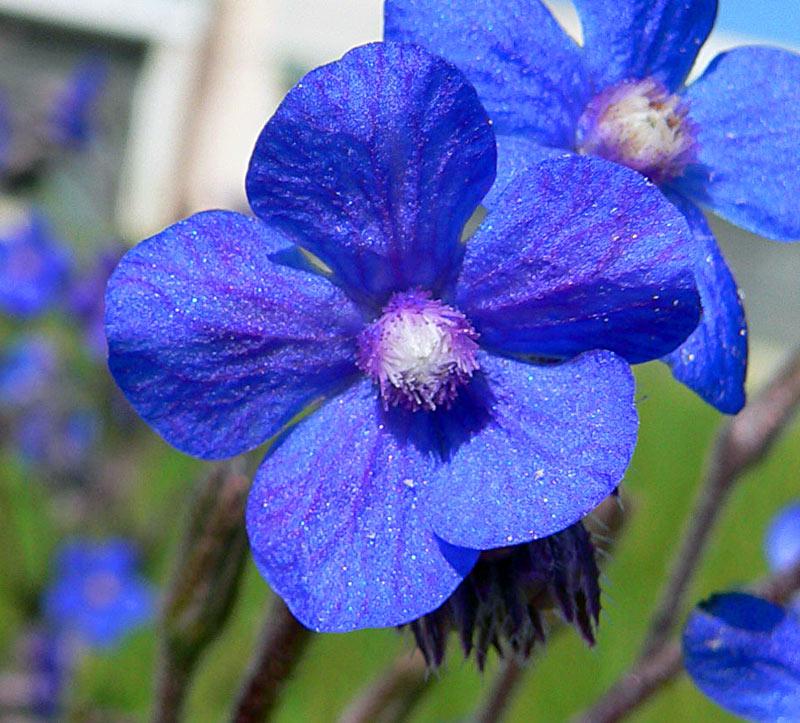 Une fleur, Buglosse azurée, Anchusa italica Retz.