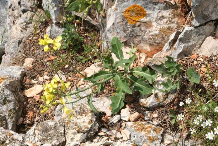 Chou de Robert, Brassica oleracea L. subsp. robertiana.