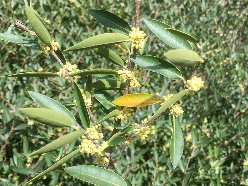 Filaire à feuilles étroites, Phillyrea angustifolia L.