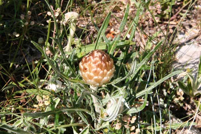 Leuzée conifère, Rhaponticum coniferum L.