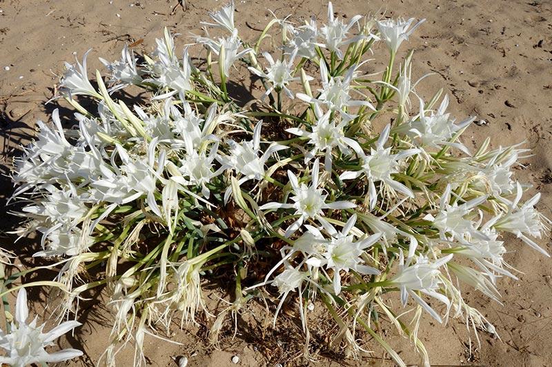 Lis de mer, Pancratium maritimum L.
