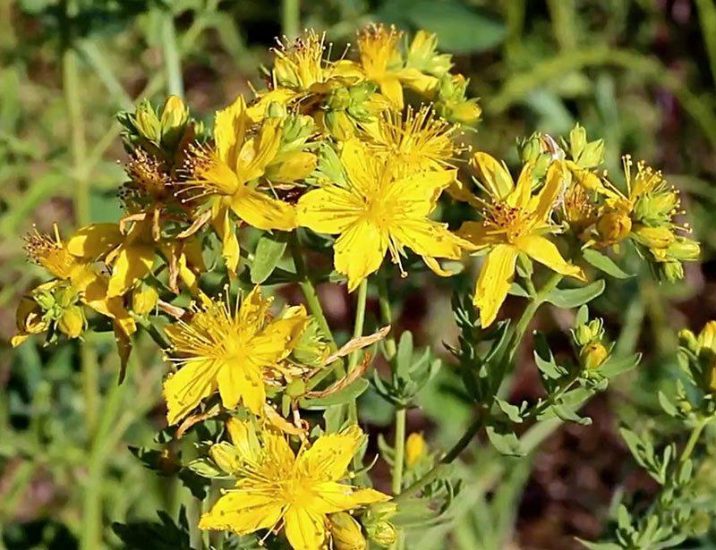 Millepertuis perforé, Hypericum perfoliatum L. Kotor