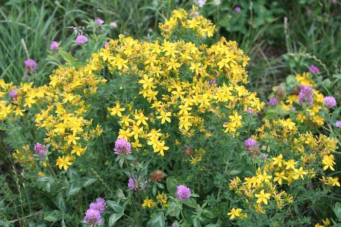 Millepertuis perforé, Hypericum perfoliatum L.