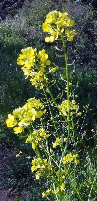 Moutarde blanche, Sinapis alba L.