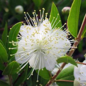 Myrte, Myrtus communis L., une fleur de Myrthe en gros plan.