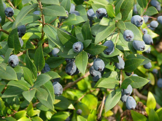 Myrte, Myrtus communis L., détail d'un buisson en graines.