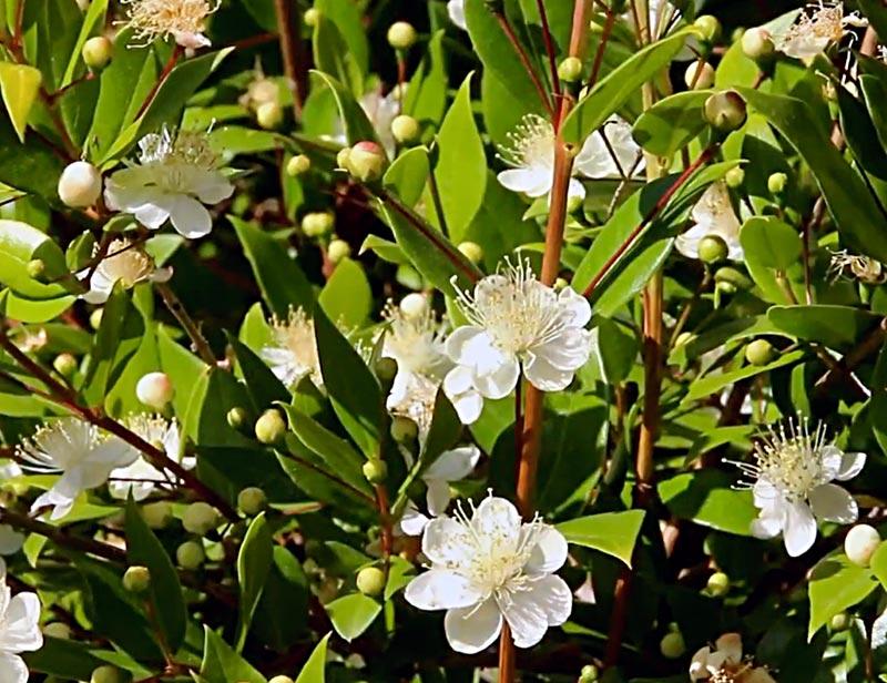 Myrte, Myrtus communis L., détail d'un buisson en fleur avec des boutons.