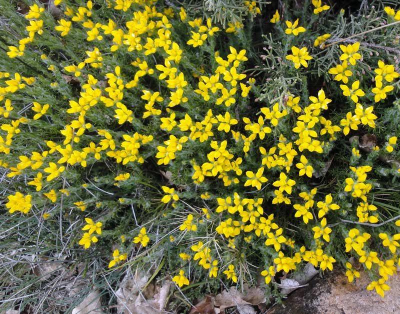 Genêt piquant, Genista hispanica L.