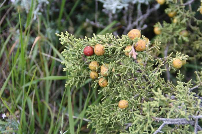 Genévrier de Phénicie, Juniperus phoenicea L.