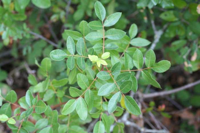 Pistachier térébinthe, Pistachia terebinthus L.