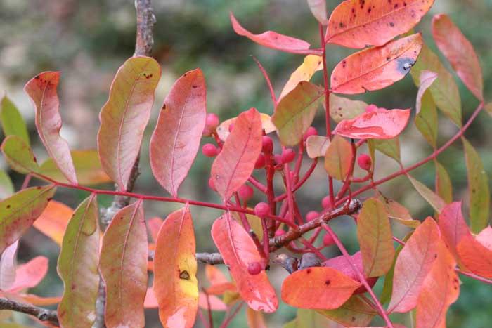 Pistachier térébinthe, Pistachia terebinthus - fruits