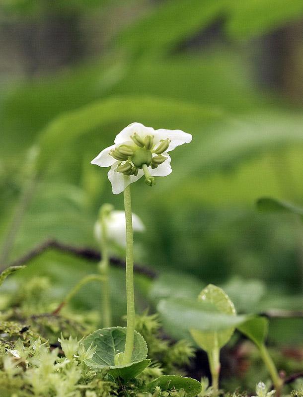 Pyrole à une fleur, Moneses uniflora