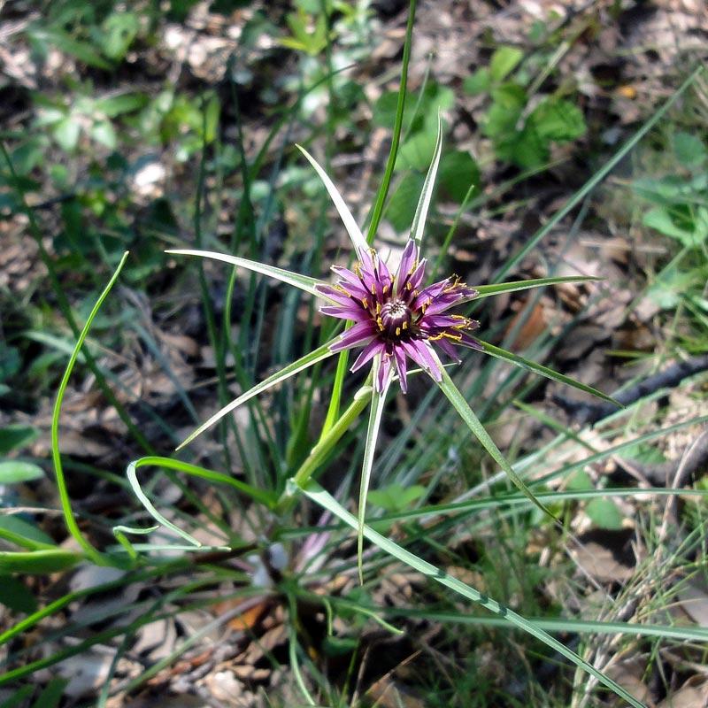 Salsifis, Tragopogon porrifolius L.