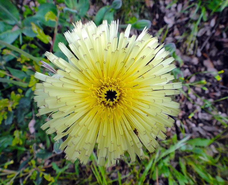 Urosperme de Daléchamp, Urospermum dalechampii (L.)