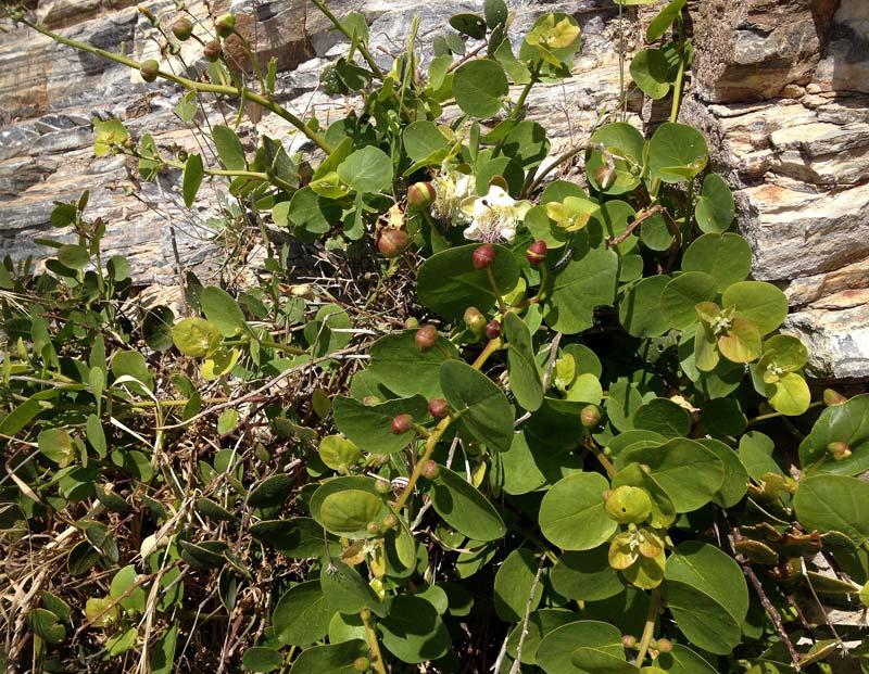 Câprier épineux, Capparis spinosa L.