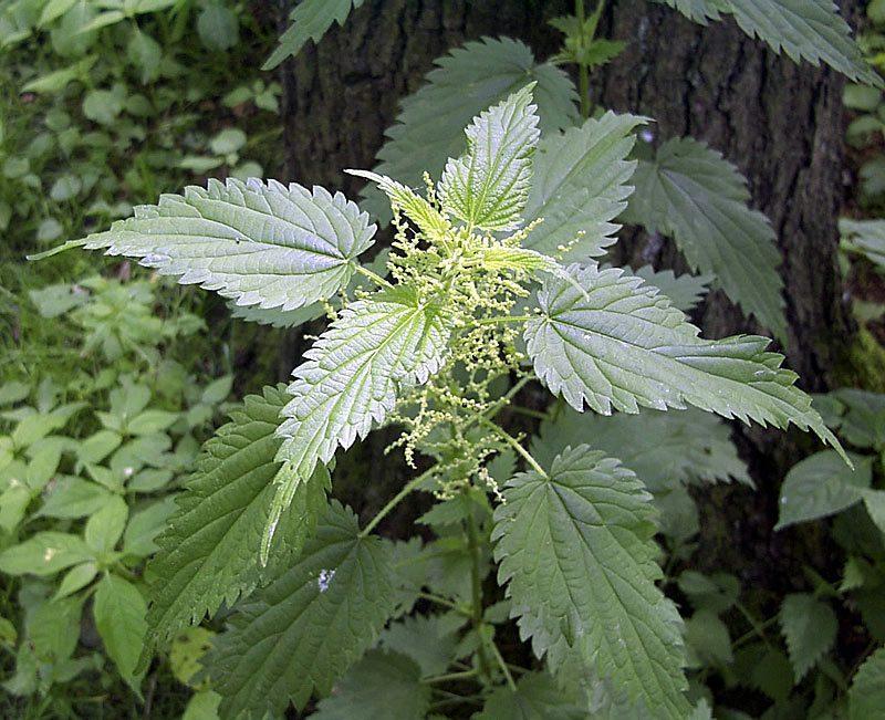 Ortie dioique, Urtica dioica L.