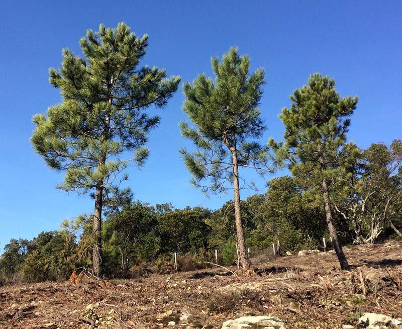 Pin d'Alep, Pinus halepensis.
