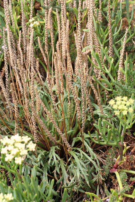 Plantain corne de cerf, Plantago coronopus L.