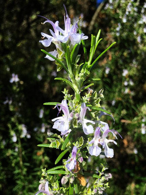Romarin, Rosmarinus officinalis L.