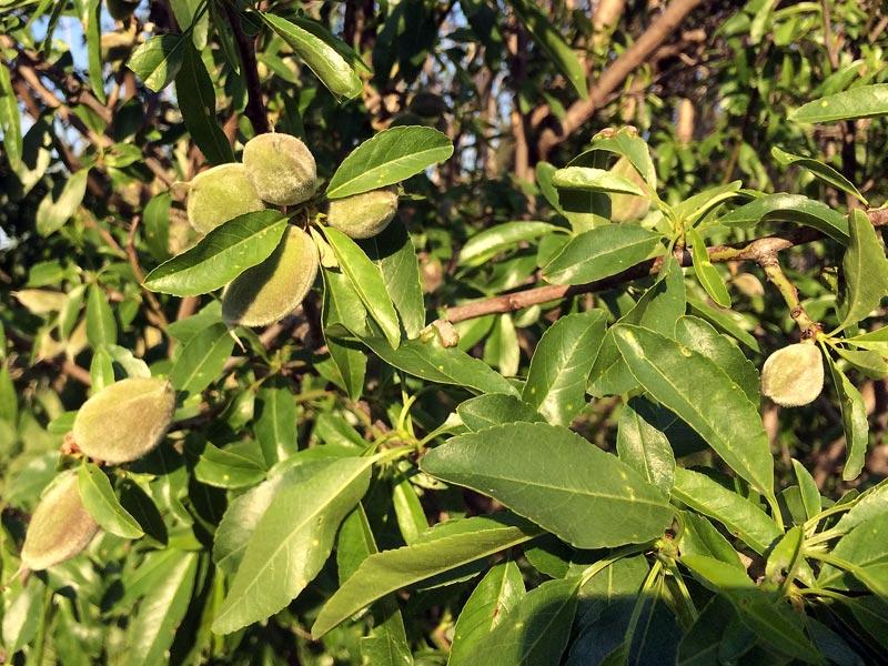 Amandier, Prunus dulcis