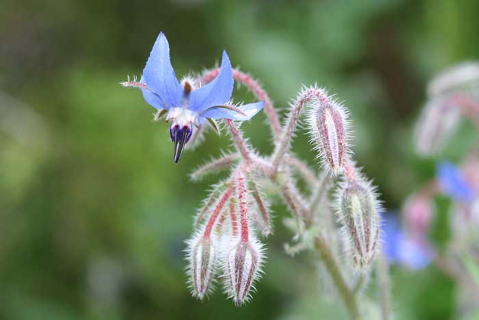 Bourrache officinale, Borago officinalis L.