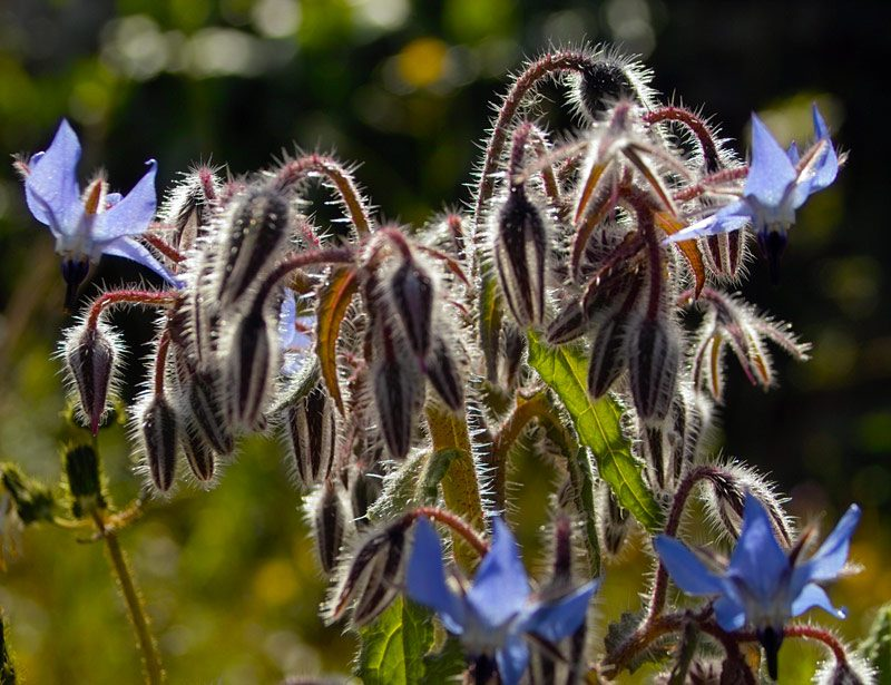 Bourrache officinale, Borago officinalis L