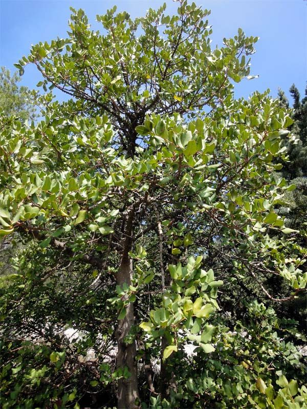 Caroubier, Ceratonia siliqua L.