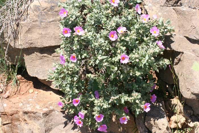 Ciste cotonneux, Cistus albidus L.