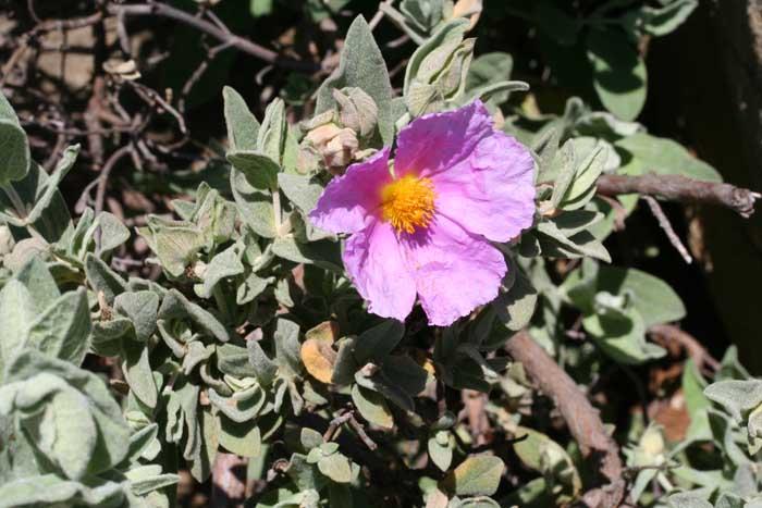 Ciste cotonneux, Cistus albidus L. 2