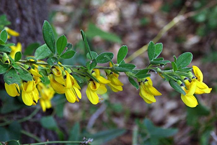 Cytise à trois fleurs, Cytisus villosus.