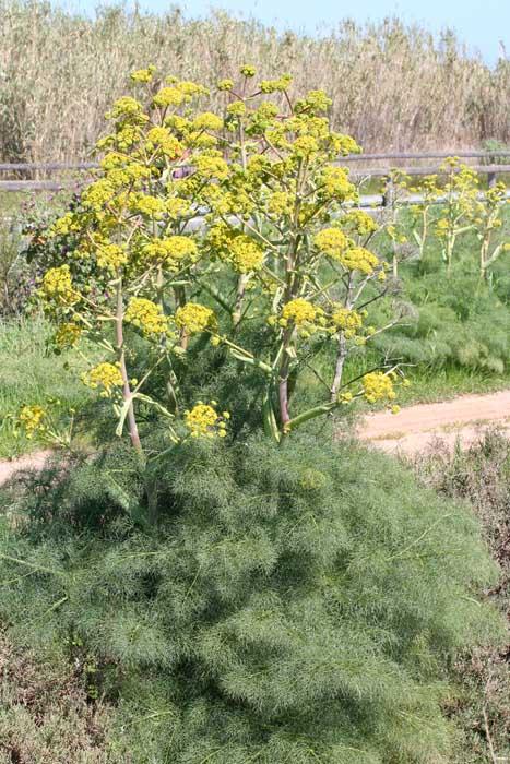 Férule commune, Ferula-communis L.