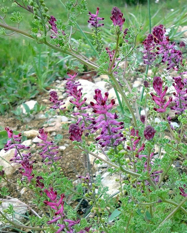 Fumeterre officinale, Fumaria officinalis