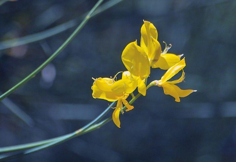 Genêt d'Espagne, Spartium junceum L.
