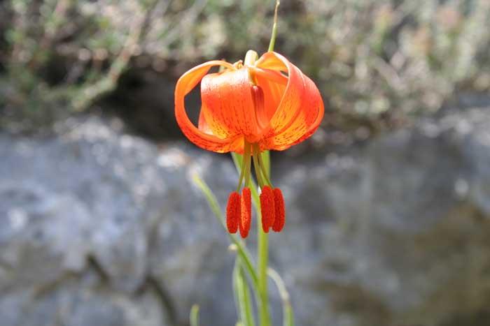 Lis de Pompone, Lilium pomponium L.