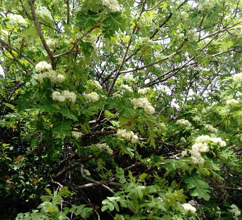 Sorbier ou Cormier, Sorbus domestica L.