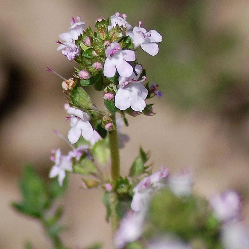 Thym, Thymus vulgaris L.