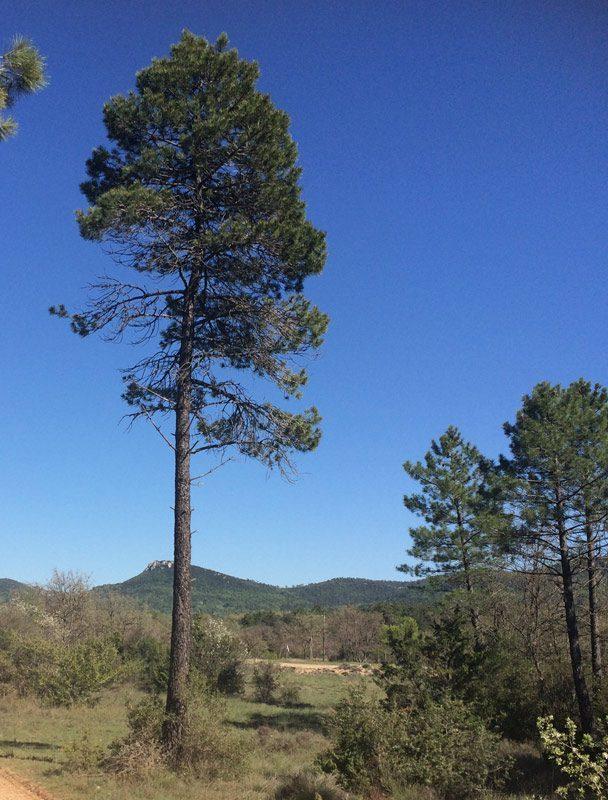 Pin maritime, Pinus pinaster.