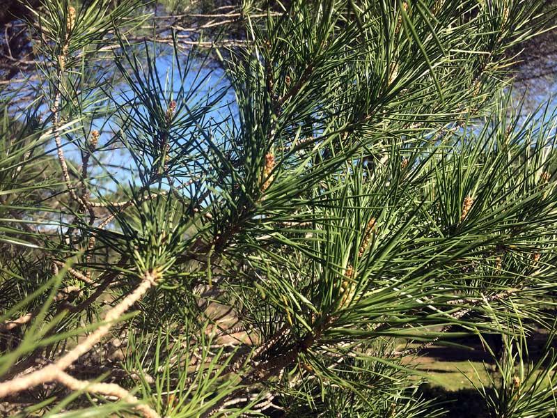 Pin parassol, Pinus pinea L.