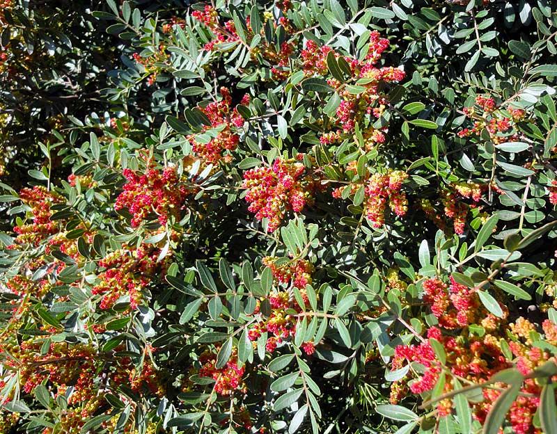 Pistachier lentisque, Pistacia lentiscus L.