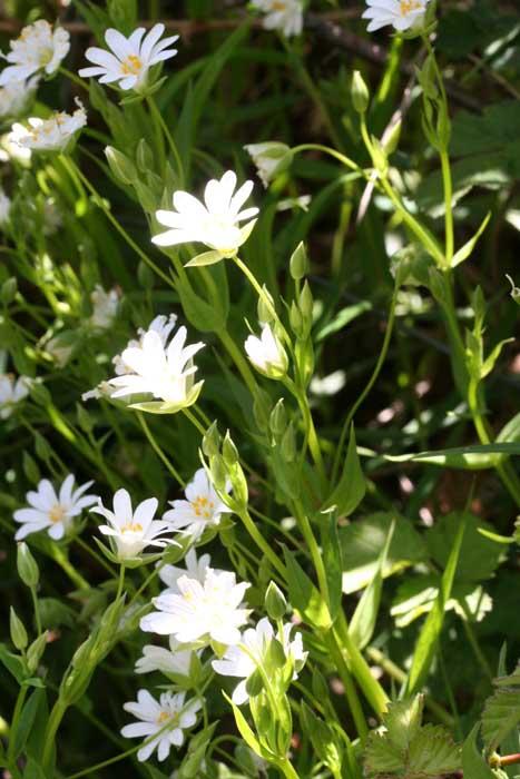 Stellaire holostée, Stellaria holostea L.