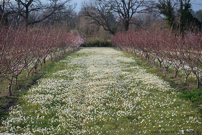 Camomille précoce, Chamaemelum-fuscatum
