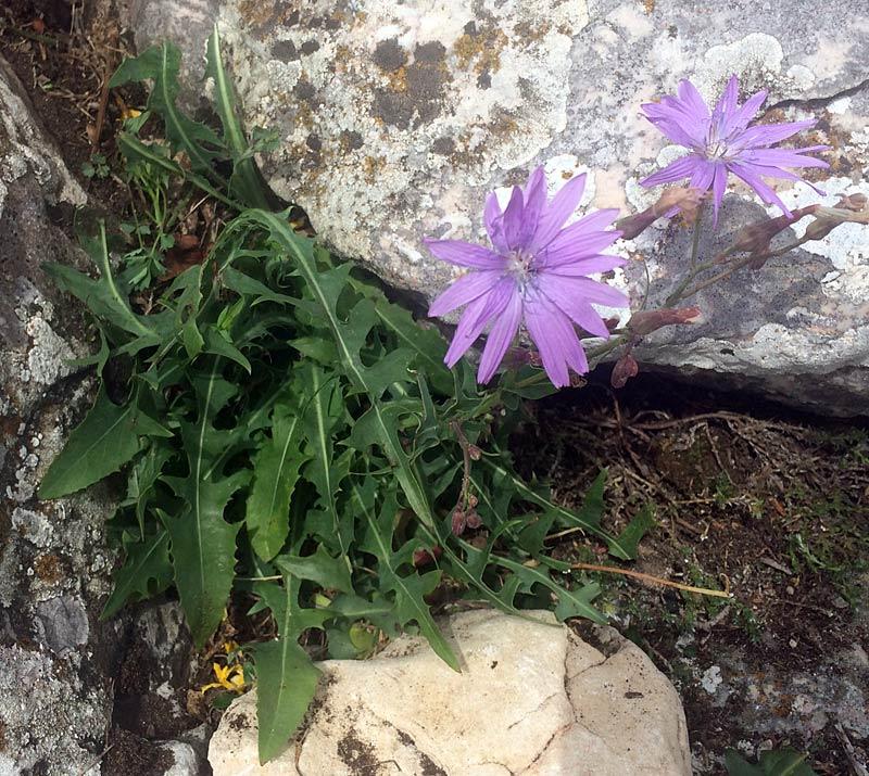 Laitue vivace, Lactuca perennis